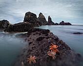 Coastal landscape with starfish on rocks, West Coast, South Island, Tasman Sea, New Zealand, Oceania