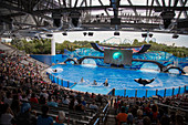 Orca killer whales breach during One Ocean show at Shamu Stadium of Sea World Orlando theme park, Orlando, Florida, USA