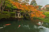 Koi and red maple tree at pond of Happo-en Garden, Minato-ku, Tokyo, Japan