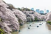 Japaner in Tretbooten betrachten die Kirschblüte am Chidori-ga-fuchi im Frühling, Chiyoda-ku, Tokio, Japan