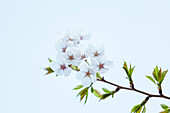 Branch of cherry tree with blossoms and buds against bright sky, Minato-ku, Tokyo, Japan