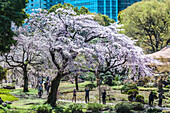Touristen fotografieren Kirschbaum in voller Blüte im Garten Koishikawa Korakuen, Bunkyo-ku, Tokio, Japan