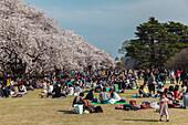 Japanische Menschenmenge bei Picknick während der Kirschblüte im Shinjuku Gyoen, Shinjuku, Tokio, Japan