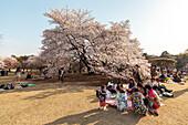 Asiatische Frauen beim Picknick während der Kirschblüte im Shinjuku Gyoen, Shinjuku, Tokio, Japan