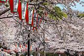 Kirschblüte und Lampions aus Papier im Ueno Park, Ueno, Taito-ku, Tokio, Japan