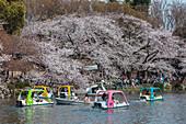 Tretboote und Kirschbäume in Blüte am Inokashira Park, Kichijoji, Musashino, Präfektur Tokio, Japan