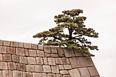 Pine tree sitting on top of wall of former Castle of Edo, Chiyoda-ku, Tokyo, Japan
