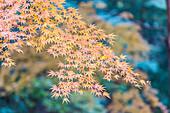 Red maple leaves in Koishikawa Korakuen, Bunkyo-ku, Tokyo, Japan