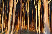 Sonnenuntergang, Golden, Bäume, Wald, Ostsee, Darss, Küste, Nationalpark, Deutschland