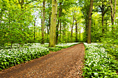 Forest, Bears Garlic, Wildflower, Trail, Spring, Leipzig, Germany