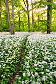Sun, Forest, Bears Garlic, Wildflower, Trail, Spring, Leipzig, Germany