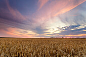 Summer, Field, Grain, Sunset, Saxony, Leipzig, Germany, Europe