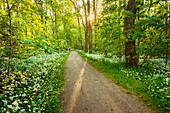 Sun, Forest, Bears Garlic, Wildflower, Spring, Park, Leipzig, Germany, Europe