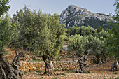 Olive trees at Deia, Mallorca, Balearics, Spain