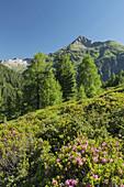 Blick vom Hirschbichl ins Defereggental, Almrausch, Hutner (2885m), Hohe Tauern, Osttirol, Tirol, Österreich