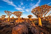 The Quiver Tree Forest (Kokerboom Woud in Afrikaans) is a forest and tourist attraction of southern Namibia. It is located about 14 km north-east of Keetmanshoop, on the road to Koës, on the Gariganus farm. It comprises about 250 specimens of Aloe dichoto