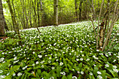Vast expanse of white flowers in the woods