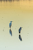 Egrets in the marsh at dawn. Doñana Natural Park. Seville. Andalusia. Spain.