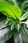 Terminalia catappa, Bengal almond tree, Africa, Mascarene, Mascarene Islands, Mascarenhas, Mauritius, Southeastern coast of Mauritius, Grand Port District , Blue Bay.