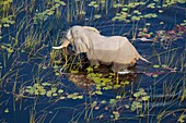 African Elephant (Loxodonta africana), in the flooplain, aerial view, Okavango Delta, Botswana.The Okavango Delta is home to a rich array of wildlife. Elephants, Cape buffalo, hippopotamus, impala, zebras, lechwe and wildebeest are just some of the large