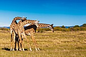 Giraffes in 'necking' mood, Masai Mara National Reserve, Kenya