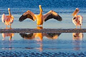Flamingos are a type of wading bird in the genus Phoenicopterus, the only genus in the family Phoenicopteridae. There are four flamingo species in the Americas and two species in the Old World. Flamingos often stand on one leg, the other leg tucked beneat