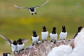 Little auks or dovekies (Alle alle) landing on a rock at their nesting site at a rocky hillside at Varsolbukta in Bellsund, which is a 20 km long sound and part of the Svalbard archipelago of Norway.