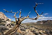 Dead Tree in Joshua Tree Nationalpark, California, USA, America