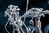 Mit Frost bedeckte Pflanze, Allgäu, Bayern, Deutschland