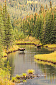 'Bull and cow moose (alces alces) feeding in a shallow pond south of Cantwell, photo taken from Parks Highway common moose habitat; Alaska, United States of America'
