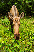 'Cow moose (alces alces), close up with a wide angle lense, south-central Alaska; Alaska, United States of America'
