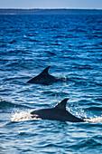 'Dolphins, Bazaruto Archipelago; Mozambique'