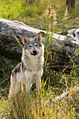 'Immature female wolf (canis lupus), captive at the Alaska Wildlife Conservation Center; Portage, Alaska, United States of America'
