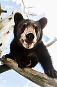 'Black bear cub (ursus americanus), captive in Alaska Wildlife Conservation Center, South-central Alaska; Portage, Alaska, United States of America'