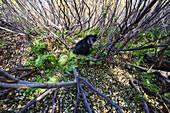 Adult Black bear among autumn foliage, Southcentral Alaska, USA
