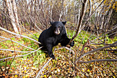 Adult Black bear in a forest among autumn foliage, Southcentral Alaska, USA