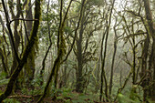 laurel forest, National Park Garajonay La Gomera, Canary Islands, Spain