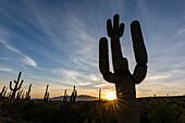 Sunrise on saguaro cactus in bloom (Carnegiea gigantea), Sweetwater Preserve, Tucson, Arizona, United States of America, North America