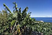 banana plantation at La Palma, Canary Islands, Spain