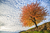 Autumn Red cherry tree meets the cloudy sky of Val di Funes, Dolomites, South Tyrol, Italy