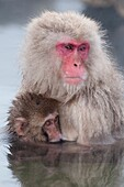 Japanese macaque or snow japanese monkey, baby and mom in onsen (Macaca fuscata), Japan.