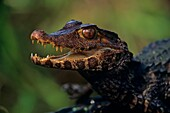 Spectacled caiman (Caiman crocodilus) captive specimen, Native to South America