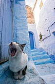 Morocco, Chefchaouen, Medina, Cat yawning in blue alley