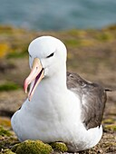 Black-browed Albatross ( Thalassarche melanophris ) or Mollymawk. South America, Falkland Islands, January.