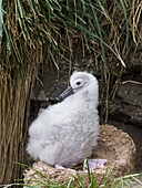 Black-browed Albatross ( Thalassarche melanophris ) or Mollymawk, chick on tower shaped nest. South America, Falkland Islands, January.