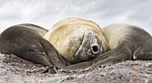 Southern elephant seal (Mirounga leonina), male, after breeding period on the Falkland Islands. South America, Falkland Islands, January.