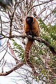 Masked titi monkey (Callicebus personatus), photographed in Linhares/Sooretama, Espírito Santo - Brazil. Atlantic forest Biome. Wild animal.