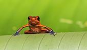 Blue-jeans Frog or Strawberry Poison-dart Frog, Dendrobates pumilio, sitting on a green banan leaf in rainforest at Laguna del Lagarto, Boca Tapada, san Carlos, Costa Rica.