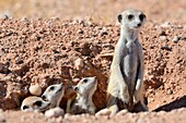 Meerkats (Suricata suricatta), adult and young at burrow entrance, Kalahari desert, Hardap Region, Namibia, Africa.