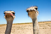 Portrait of ostriches